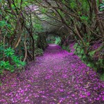 Kwitnąca droga, Irlandia (fot. Robert Ziegenfuss / boredpanda.com)